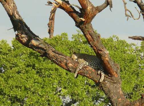 Leopard sleeping