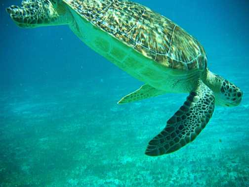 Snorkelling with turtles at Hol Chan