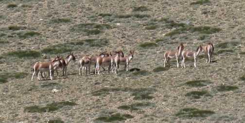 A herd of Kyang - Tibetan wild asses.