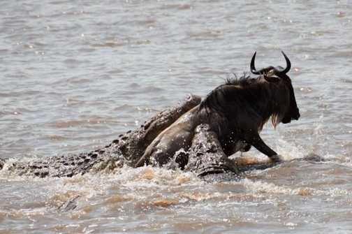 Crocodiles get a wildebeest