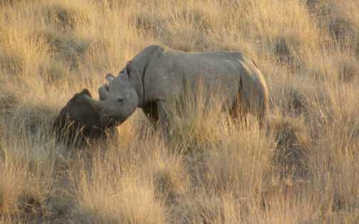 Wild Black Rhino in the Palmwag Concession