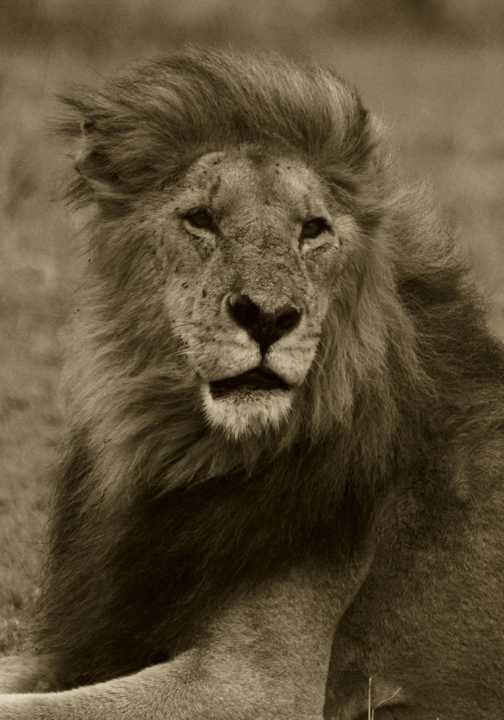 Majestic lion taking it easy in the Masai Mara.