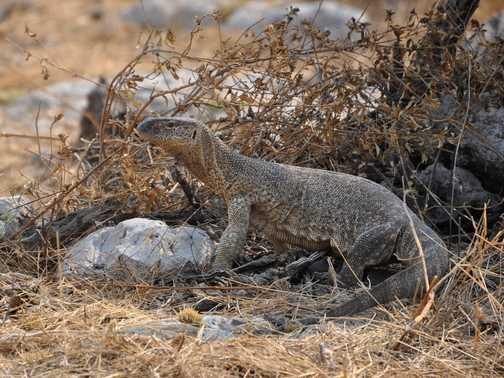Monitor Lizard, Etosha NP