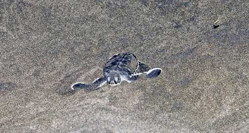 Green sea turtle hatchling paddling through the sand to the ocean.