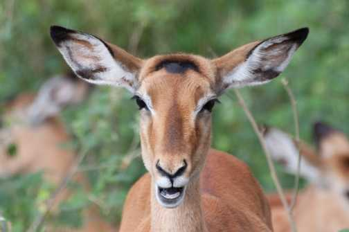 Impala Close Up