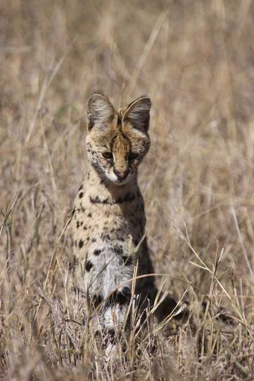 A most obliging serval!