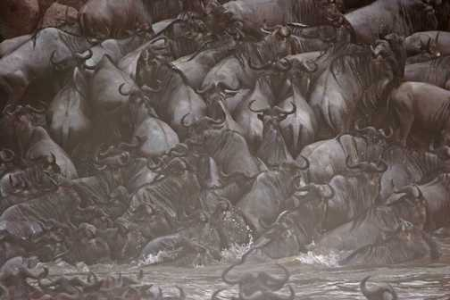 Wildebeest migration river crossing