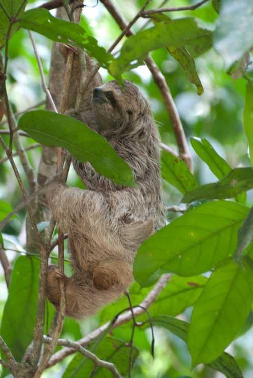 Baby sloth at Manuel Antonio