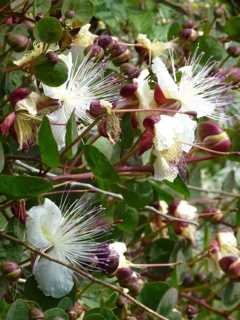 Caper plant