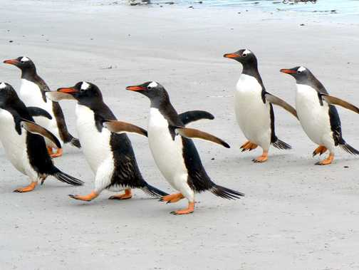 Gentoo penguins at Carcass Island, Falklands