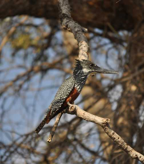 Giant Kingfisher Chobe River