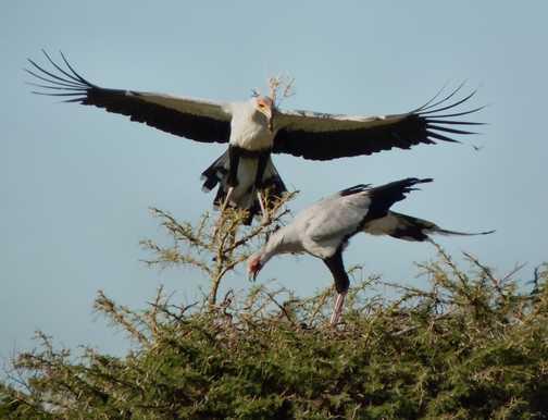 Nesting Secretary birds