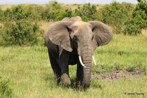 Adult African Elephant