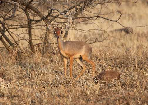 Salt's Dik Dik - Awash NP