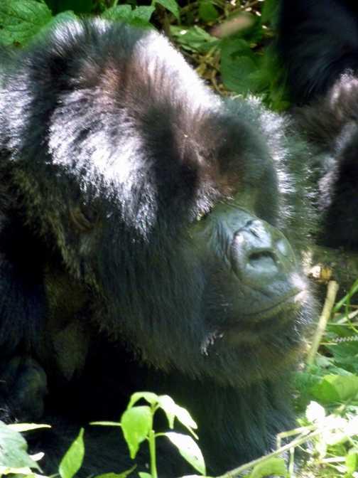 Mountain gorillas - Parc National des Volcans, Rwanda