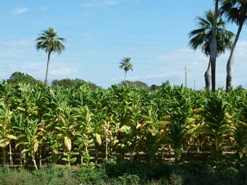 Tobacco crop