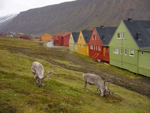 Longyearbyen Reindeer
