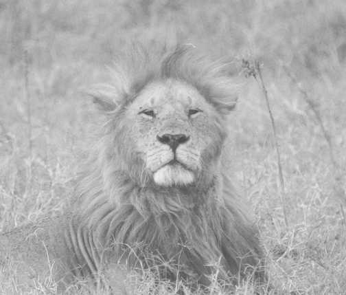 Marsh Pride - male lion