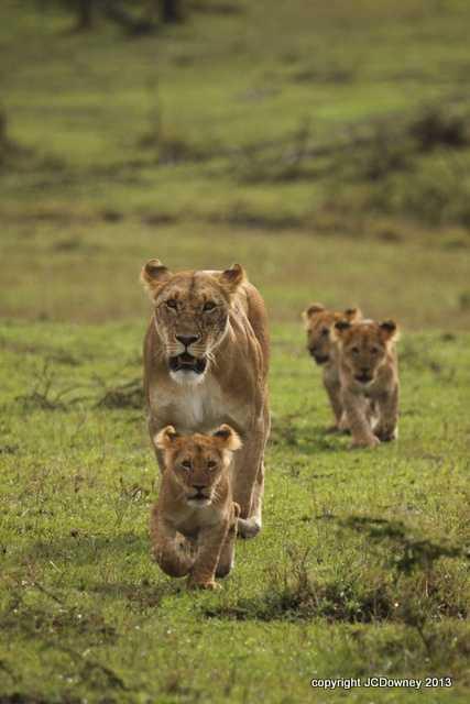 Cheli pride lioness and cubs - Mara North