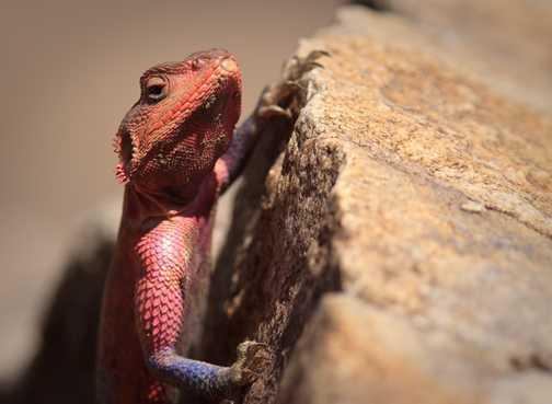 Lizard climbing