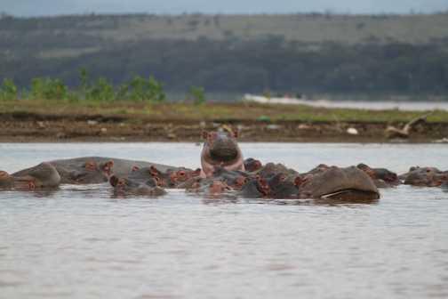 Hippos in Lake Naivaisha
