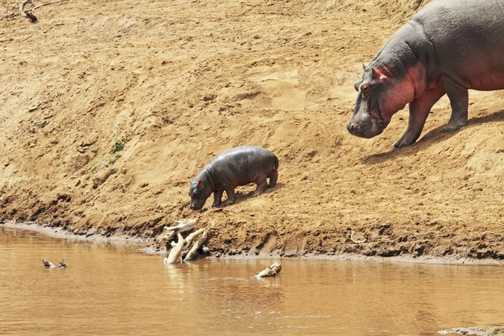 1 week old hippo and mum
