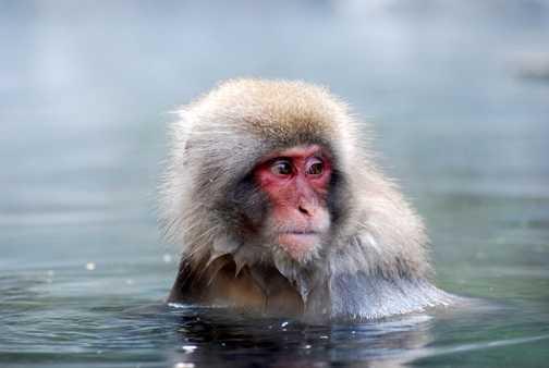 Snow Monkeys..