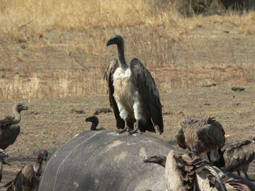 Vulture on Hippo Carcuss