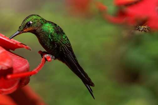 Hummingbird at feeding station, Santa Elena Cloud Forest Reserve