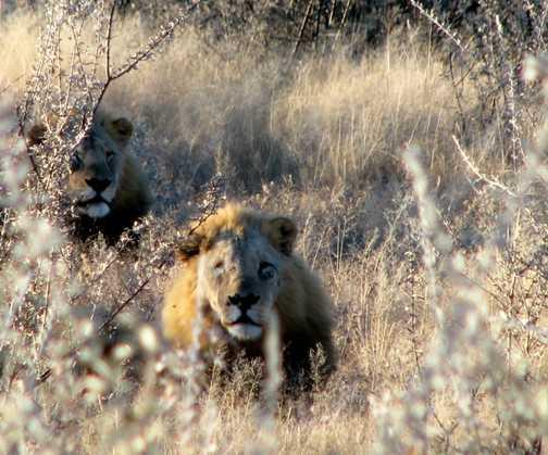 Male Lions at Etosha NP, Namibia