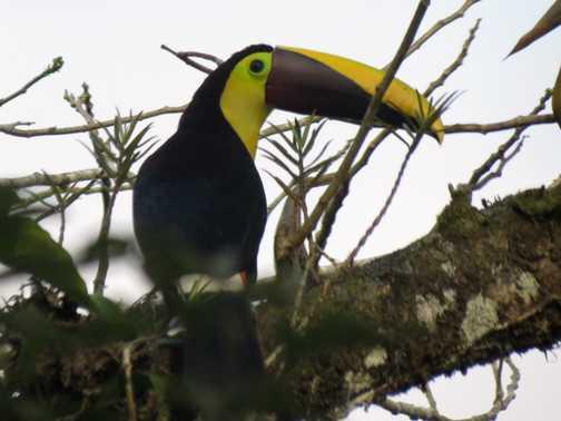 Black-mandibled Toucan - near Fortuna