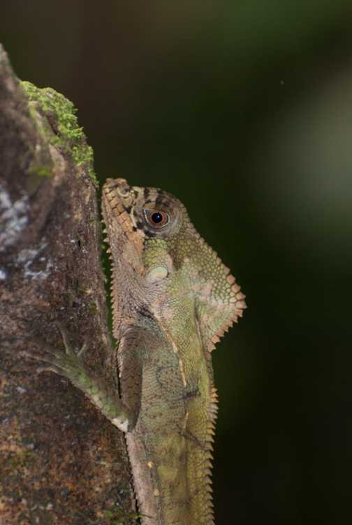 Lizard - Golfito