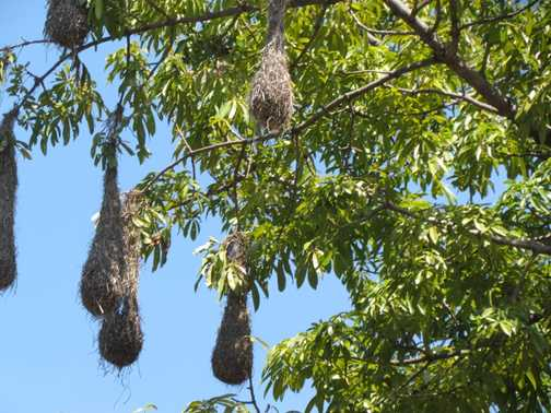Weaver bird nests