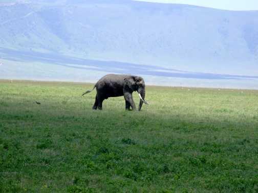 Elephant Ngorogoro