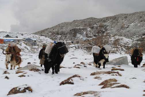 Yaks as we reapproach Gorak Shep