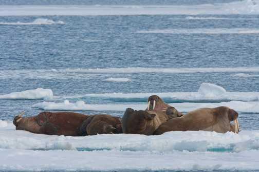 Walrus on Ice Floe