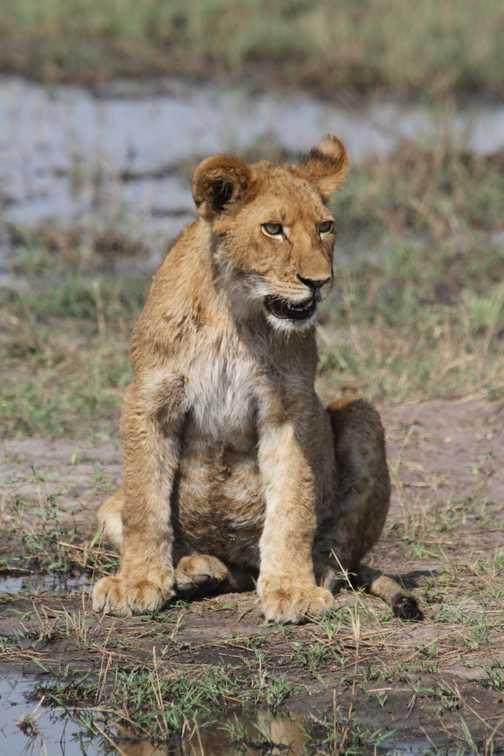 Lion cub drinking