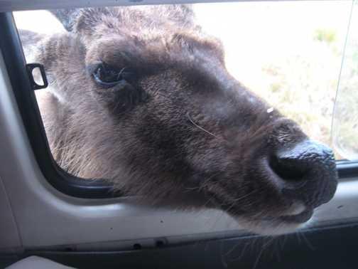 Want my close up snap? Curious Samber deer at Horton Plains park entrance gate