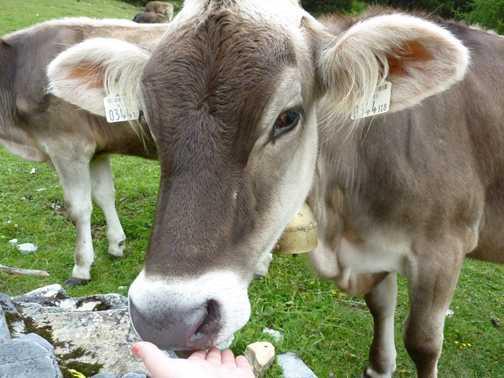 Friendly Cow