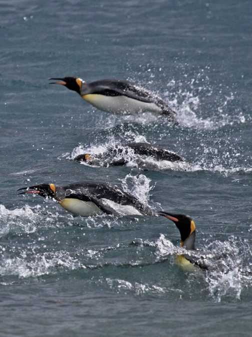 Pronking Penguins, Royal Bay