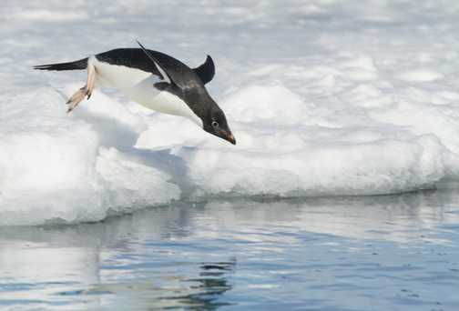 Adelie penguin takes a dive as we pass in Zodiac