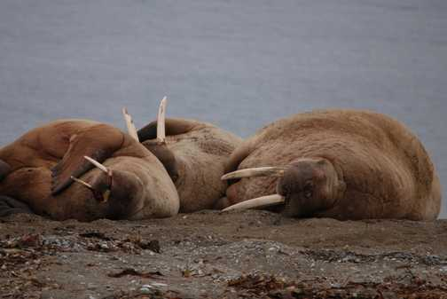 Walrus relaxing
