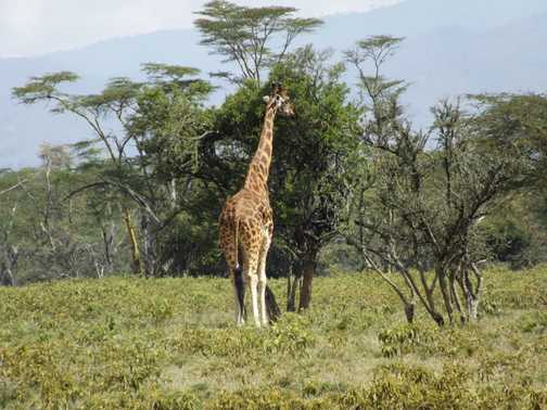 Rothschild's giraffe in lake nakuru national park k