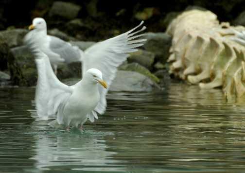 Ivory Gull lift off