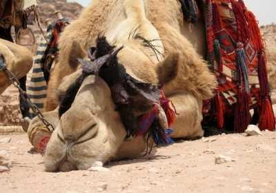 Lazy Camel in Petra