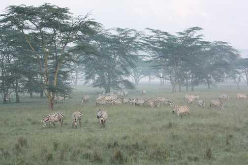 Zebras - L Nakuru