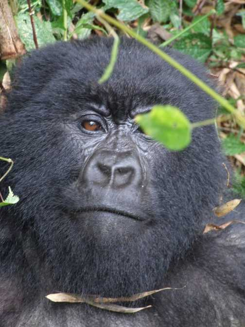 Rwanda - Gorilla's CHECKING OUT THE LEAF - AND ME!