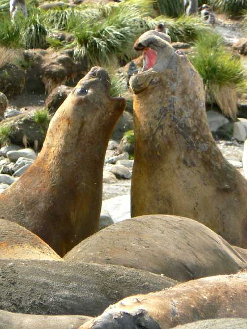 Elephant seals' autocation