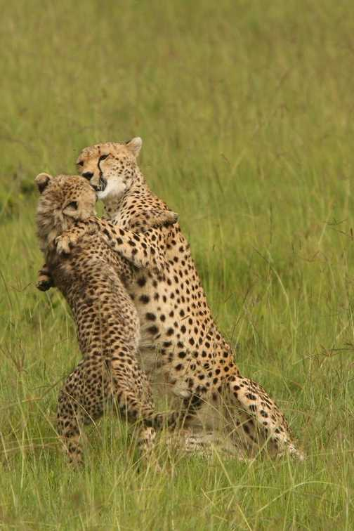 Cheetah and cub playfighting