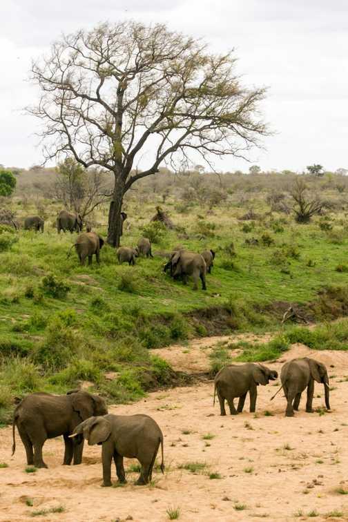 Elephants - Kruger NP